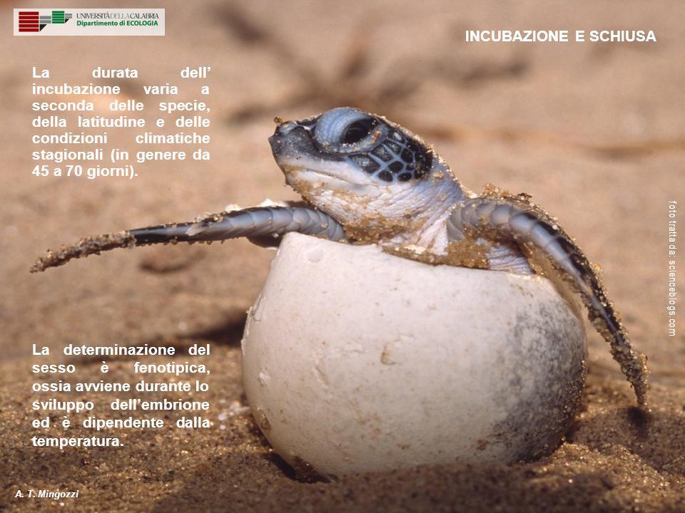 La durata dell incubazione varia a seconda delle specie, della latitudine e delle condizioni climatiche stagionali (in genere da 45 a 70 giorni). La d