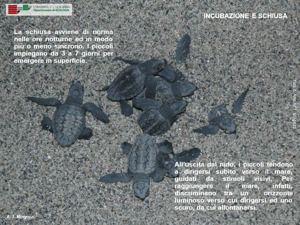 La schiusa avviene di norma nelle ore notturne ed in modo più o meno sincrono. I piccoli impiegano da 3 a 7 giorni per emergere in superficie. INCUBAZ