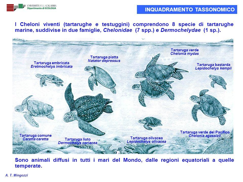 I Cheloni viventi (tartarughe e testuggini) comprendono 8 specie di tartarughe marine, suddivise in due famiglie, Chelonidae (7 spp.) e Dermochelydae