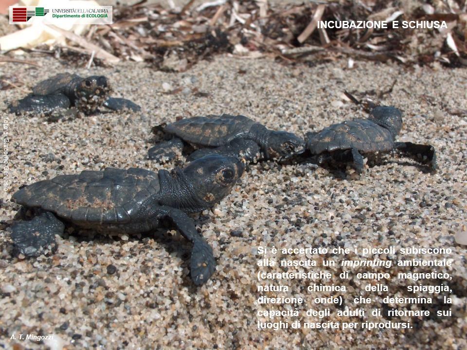 Si è accertato che i piccoli subiscono alla nascita un imprinting ambientale (caratteristiche di campo magnetico, natura chimica della spiaggia, direz