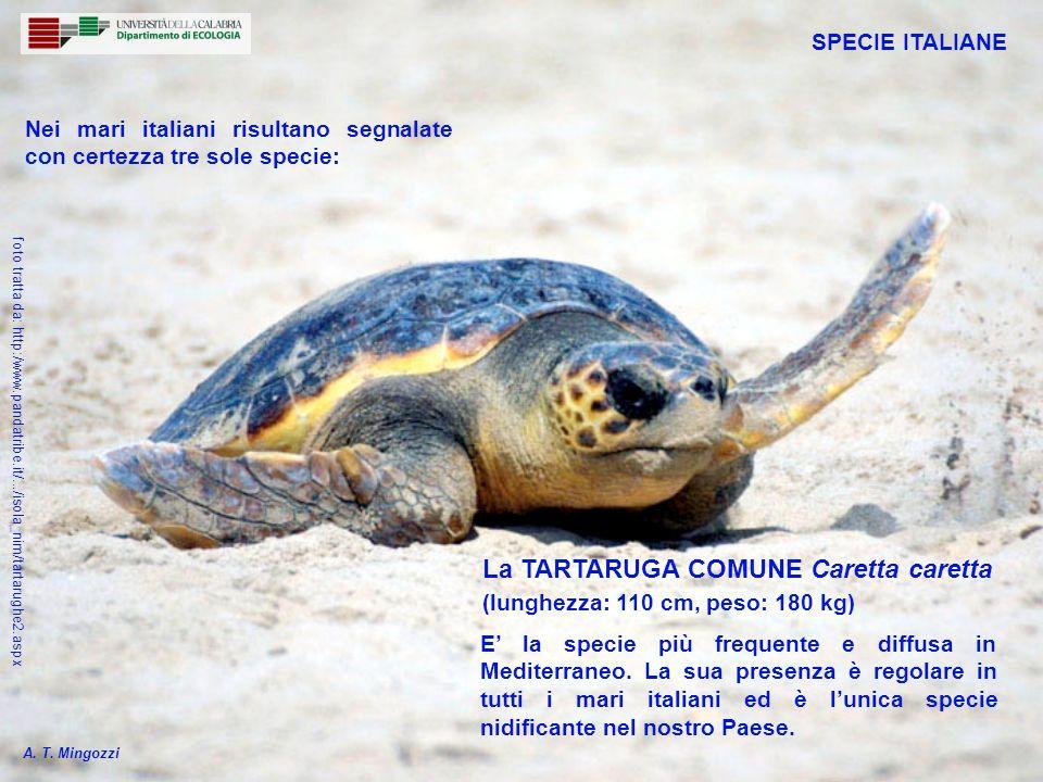 Nidifica nel settore più orientale del Mediterraneo ed è segnalata molto raramente lungo le coste italiane (14 segnalazioni complessive, tra il 1986 ed il 2001, di cui una in Calabria) La TARTARUGA VERDE Chelonia mydas (lunghezza: 125 cm, peso: 250 kg) SPECIE ITALIANE A.