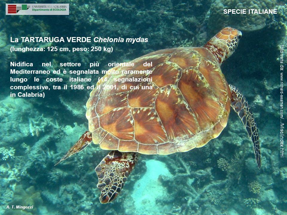 Non si riproduce in Mediterraneo, ma la sua comparsa è relativamente regolare.