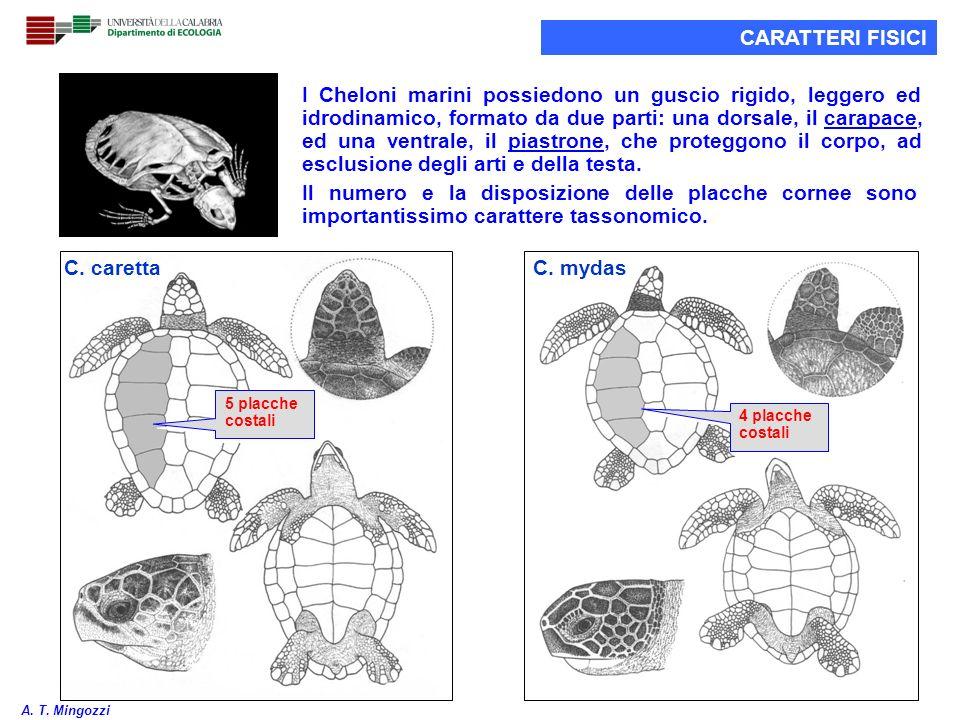 6 C. caretta C. mydas I Cheloni marini possiedono un guscio rigido, leggero ed idrodinamico, formato da due parti: una dorsale, il carapace, ed una ve