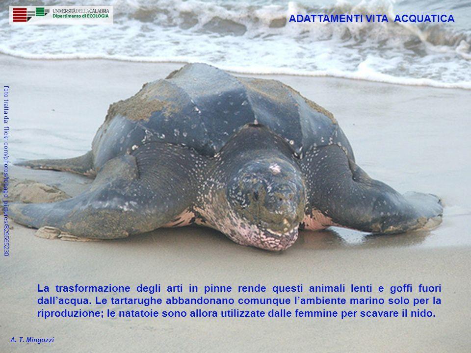 8 La trasformazione degli arti in pinne rende questi animali lenti e goffi fuori dallacqua. Le tartarughe abbandonano comunque lambiente marino solo p
