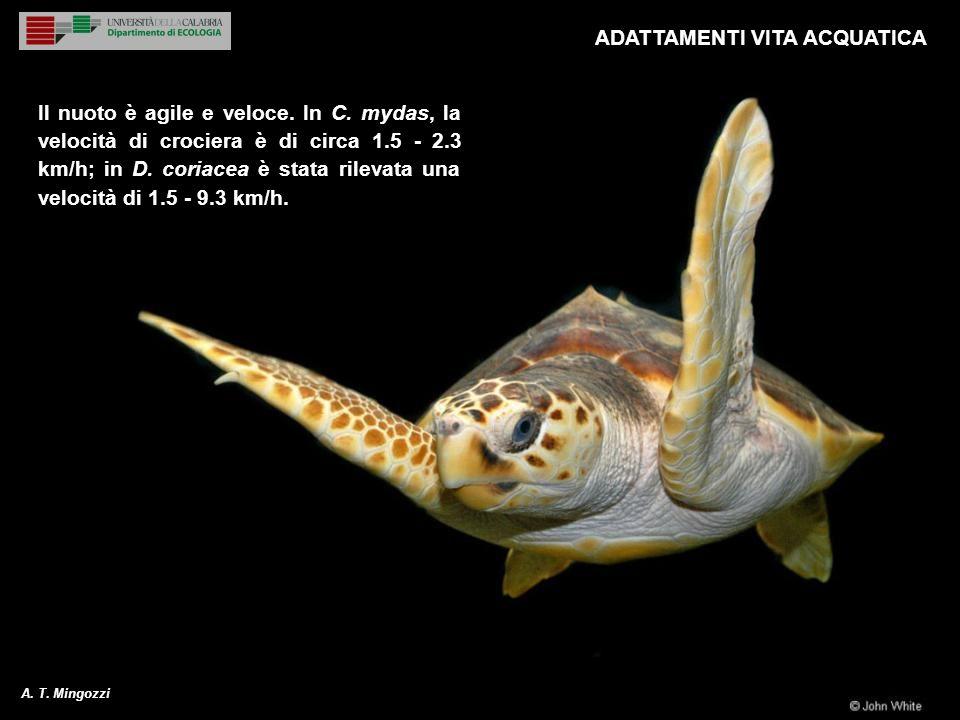 9 Il nuoto è agile e veloce. In C. mydas, la velocità di crociera è di circa 1.5 - 2.3 km/h; in D. coriacea è stata rilevata una velocità di 1.5 - 9.3