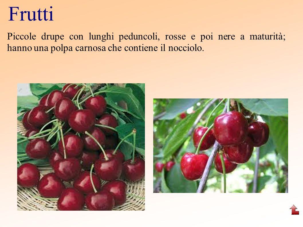 Frutti Piccole drupe con lunghi peduncoli, rosse e poi nere a maturità; hanno una polpa carnosa che contiene il nocciolo.