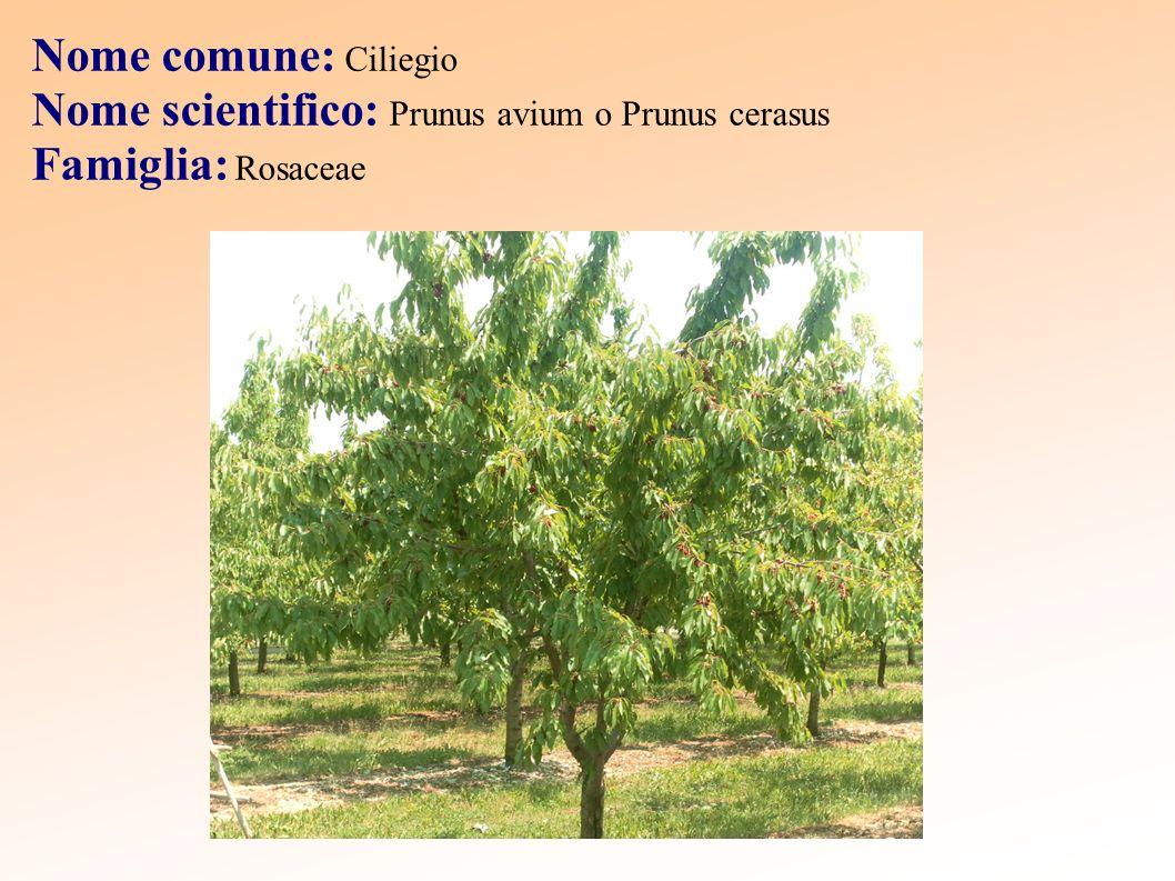 Origine Il ciliegio è un albero di origine asiatica che nasce spontaneamente e che si è diffuso nei boschi di tutta l Europa.