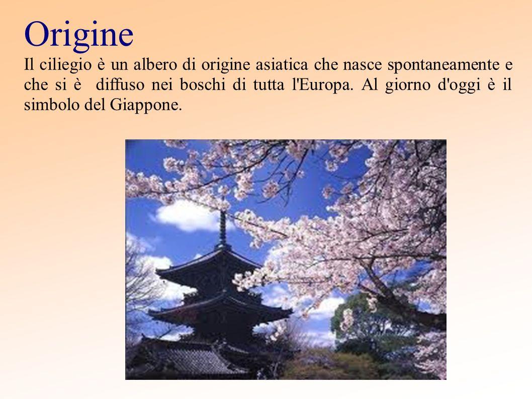 Origine Il ciliegio è un albero di origine asiatica che nasce spontaneamente e che si è diffuso nei boschi di tutta l'Europa. Al giorno d'oggi è il si