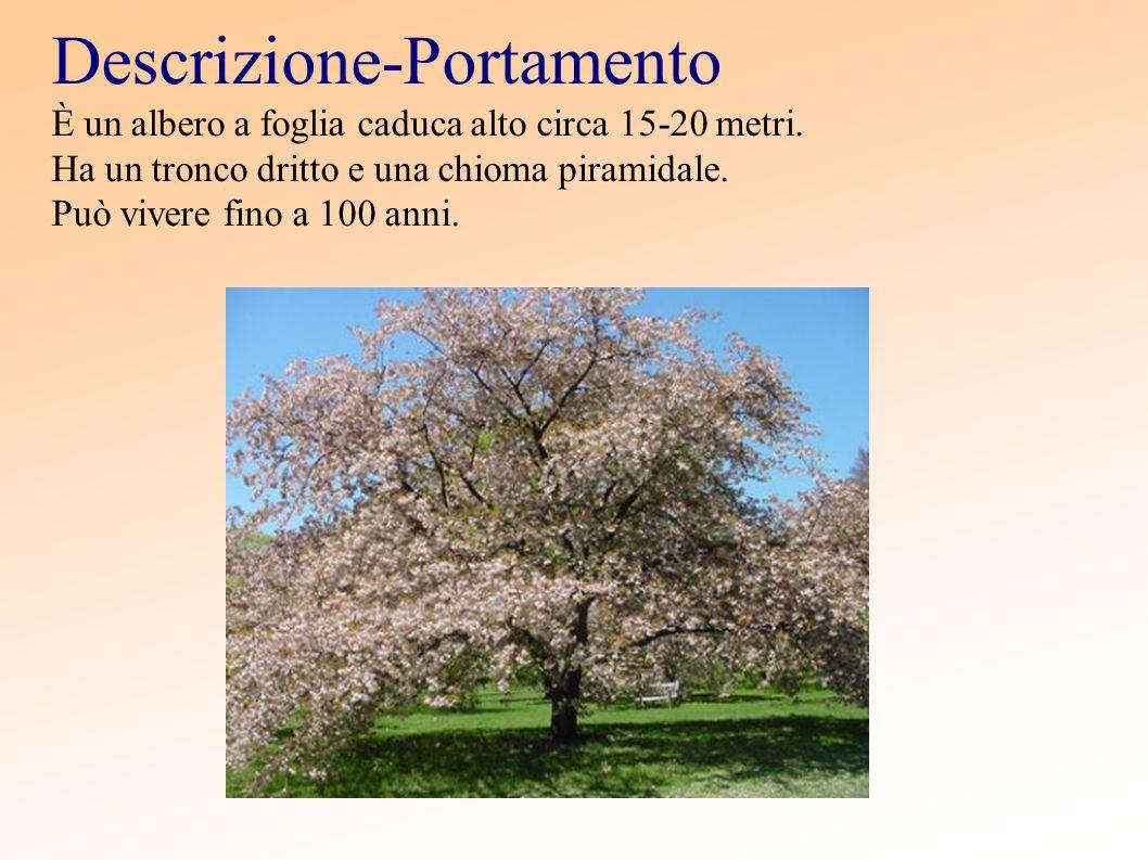 Descrizione-Portamento È un albero a foglia caduca alto circa 15-20 metri. Ha un tronco dritto e una chioma piramidale. Può vivere fino a 100 anni.