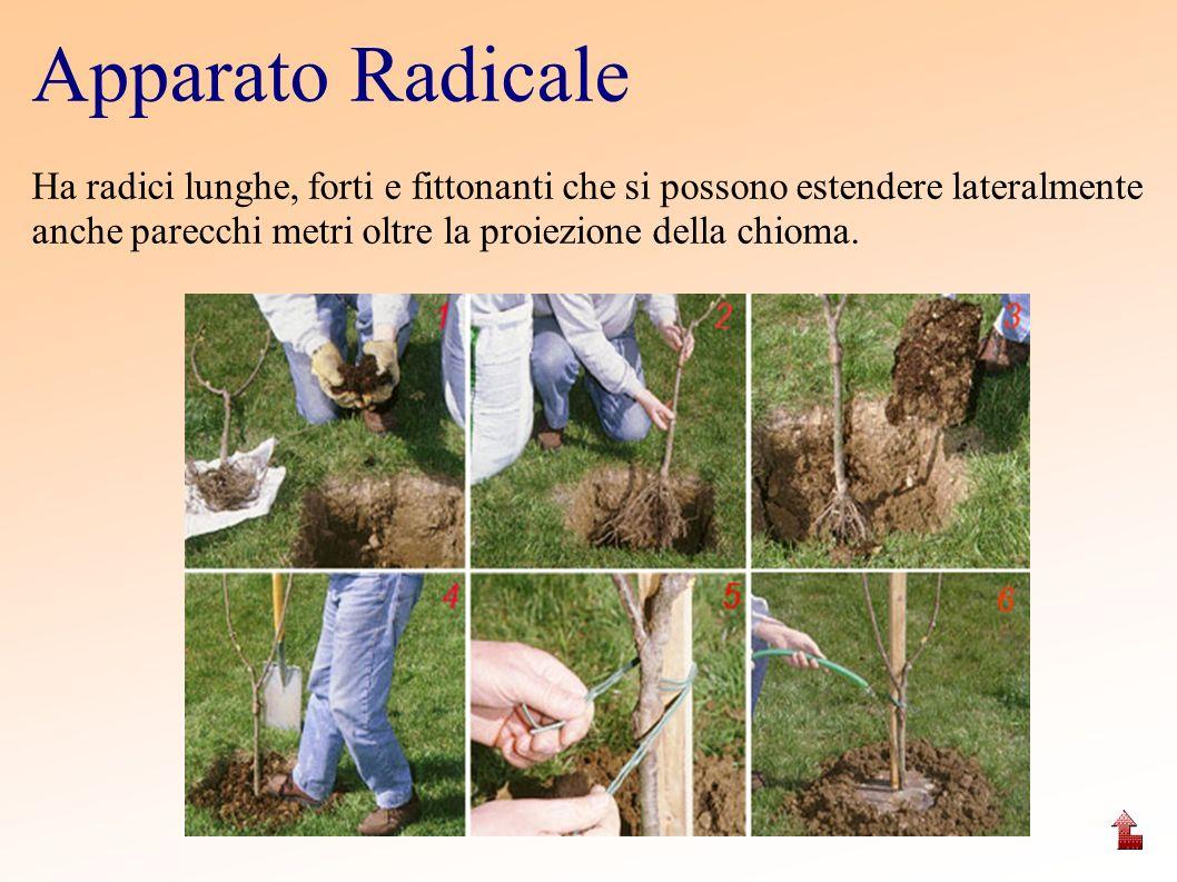 Apparato Radicale Ha radici lunghe, forti e fittonanti che si possono estendere lateralmente anche parecchi metri oltre la proiezione della chioma.