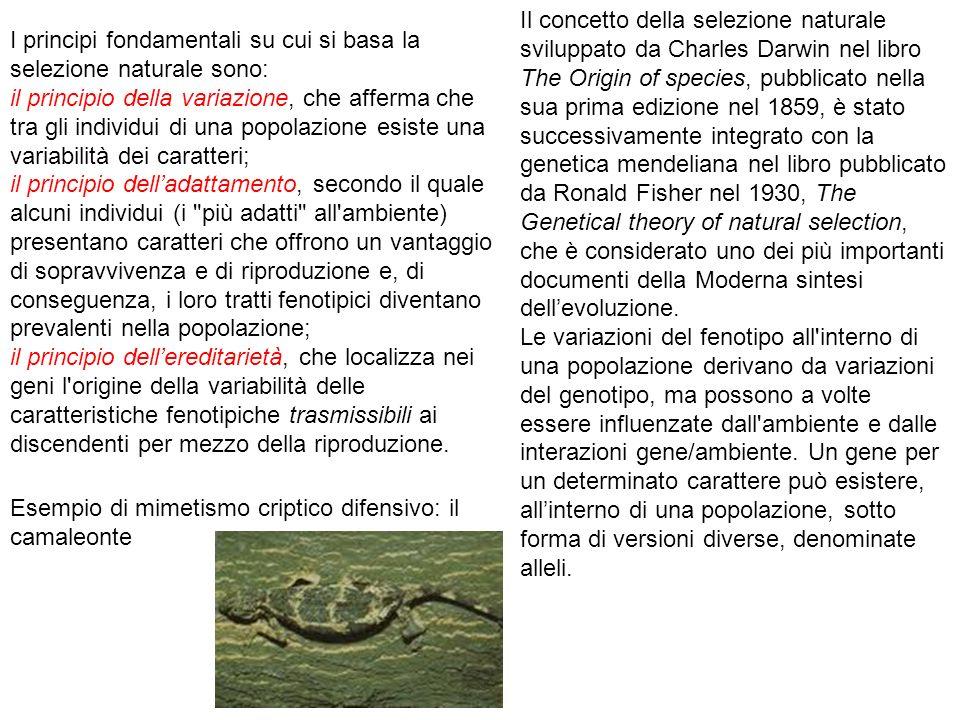 I principi fondamentali su cui si basa la selezione naturale sono: il principio della variazione, che afferma che tra gli individui di una popolazione esiste una variabilità dei caratteri; il principio delladattamento, secondo il quale alcuni individui (i più adatti all ambiente) presentano caratteri che offrono un vantaggio di sopravvivenza e di riproduzione e, di conseguenza, i loro tratti fenotipici diventano prevalenti nella popolazione; il principio dellereditarietà, che localizza nei geni l origine della variabilità delle caratteristiche fenotipiche trasmissibili ai discendenti per mezzo della riproduzione.