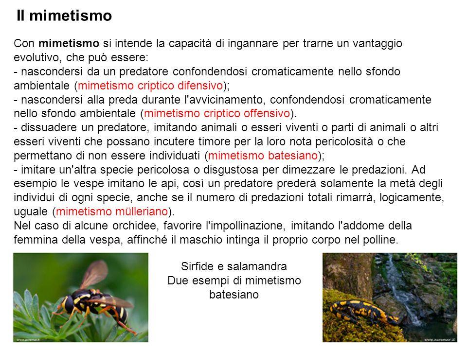 Il mimetismo Con mimetismo si intende la capacità di ingannare per trarne un vantaggio evolutivo, che può essere: - nascondersi da un predatore confon