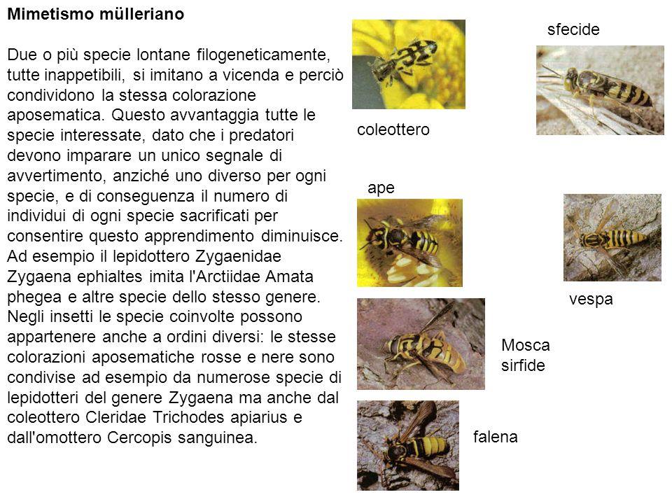 Mimetismo mülleriano Due o più specie lontane filogeneticamente, tutte inappetibili, si imitano a vicenda e perciò condividono la stessa colorazione aposematica.