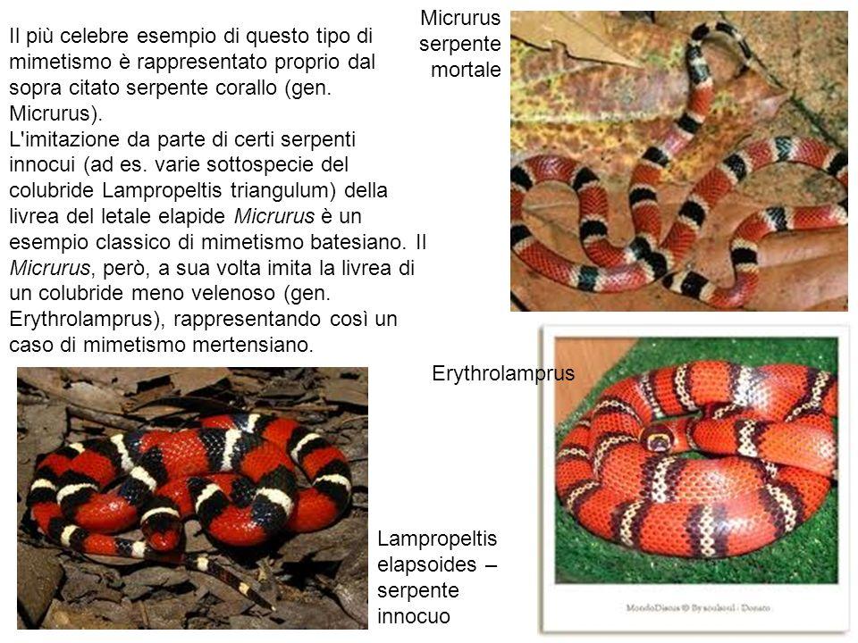 Il più celebre esempio di questo tipo di mimetismo è rappresentato proprio dal sopra citato serpente corallo (gen. Micrurus). L'imitazione da parte di