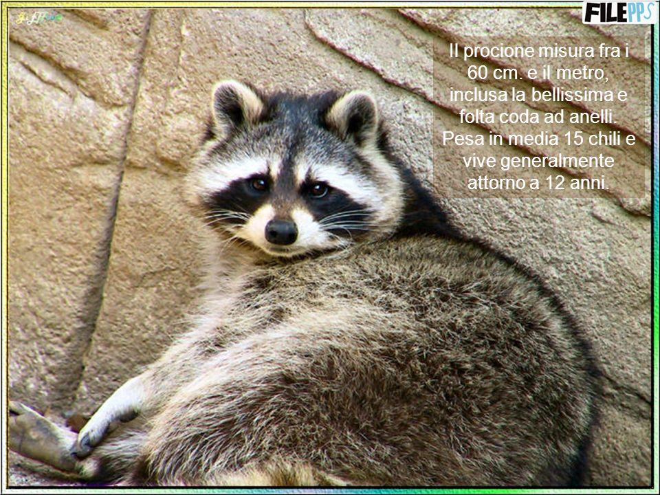 Ma è anche un abile cacciatore e la notte esce a caccia per procurarsi il cibo anche da sé. Fanno parte della sua dieta anche insetti, rane, pesci, uo
