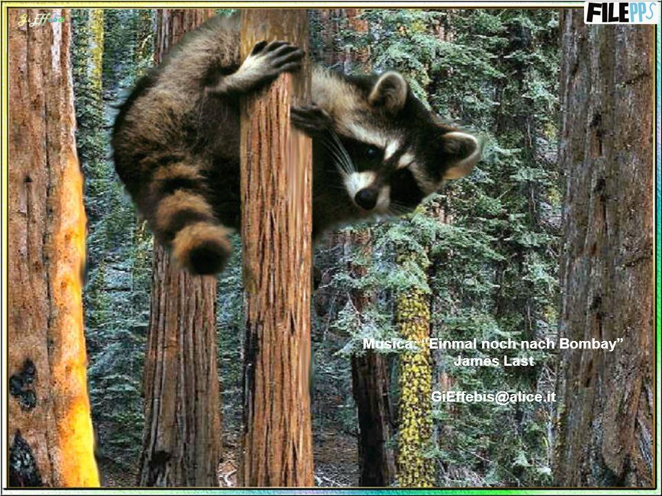 Non ha nemici naturali, ma la sua bellissima pelliccia è molto apprezzata e nei Paesi in cui vive non è vietata la caccia a questo tranquillo mammifer