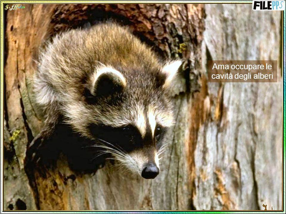 Vive generalmente nei boschi, nelle foreste, nei pressi di stagni o corsi dacqua e vicino ai centri popolati dalluomo.
