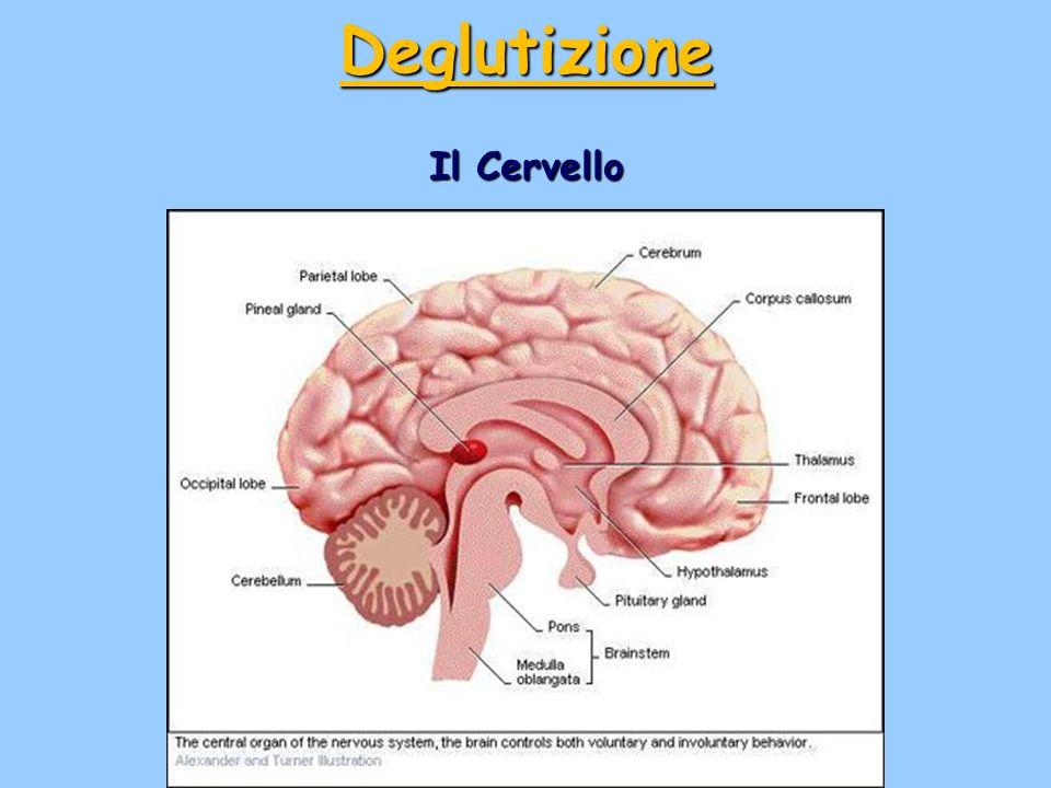 Deglutizione Il Cervello