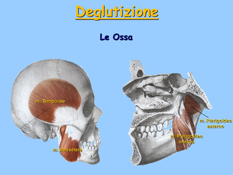 Le Ossa m. Temporale m. Massetere m. Pterigoideo esterno m. Pterigoideo interno Deglutizione