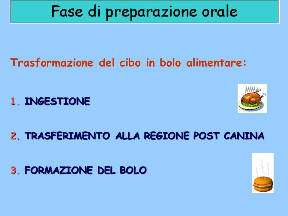 Trasformazione del cibo in bolo alimentare: 1.INGESTIONE 2.TRASFERIMENTO ALLA REGIONE POST CANINA 3.FORMAZIONE DEL BOLO
