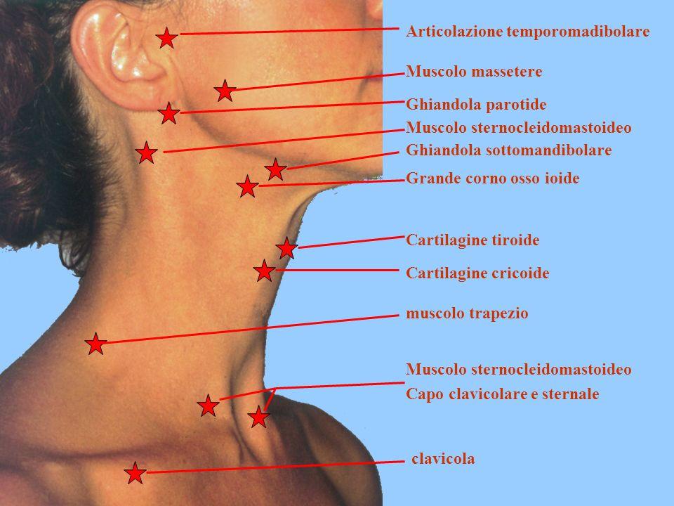 Articolazione temporomadibolare Muscolo massetere Ghiandola parotide Muscolo sternocleidomastoideo Ghiandola sottomandibolare Grande corno osso ioide