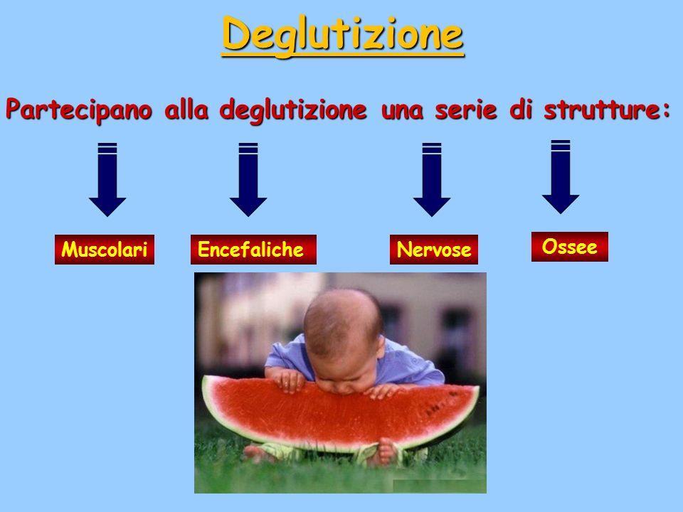Deglutizione Partecipano alla deglutizione una serie di strutture: MuscolariEncefalicheNervose Ossee