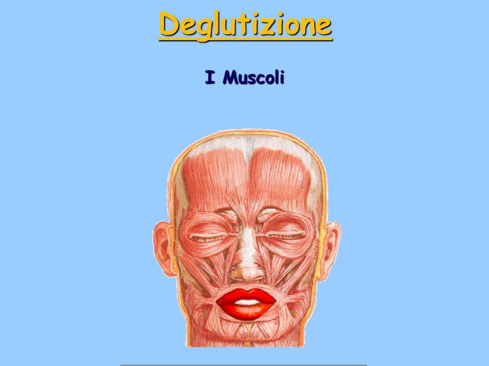 I Muscoli Deglutizione