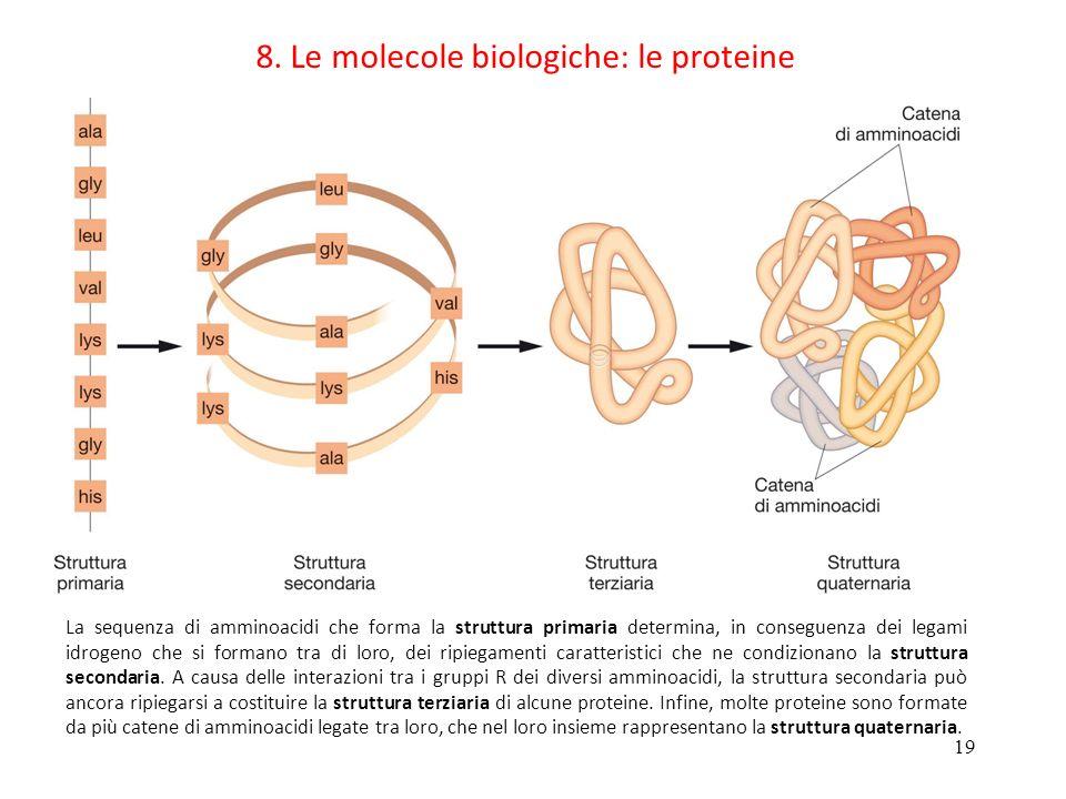 19 8. Le molecole biologiche: le proteine La sequenza di amminoacidi che forma la struttura primaria determina, in conseguenza dei legami idrogeno che