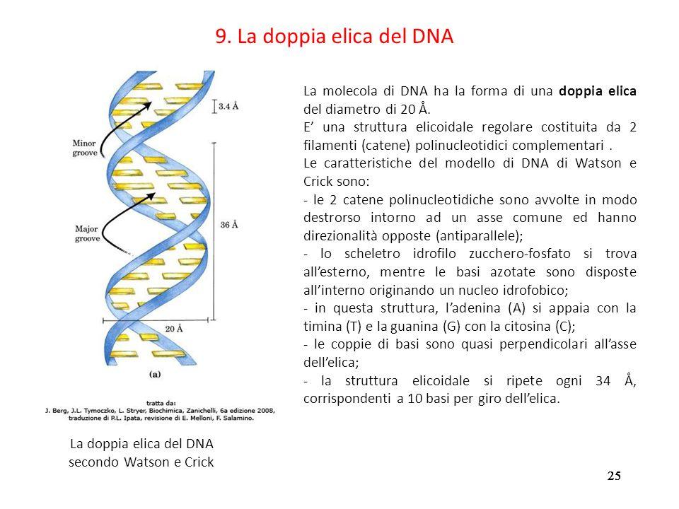 25 9. La doppia elica del DNA La molecola di DNA ha la forma di una doppia elica del diametro di 20 Å. E una struttura elicoidale regolare costituita