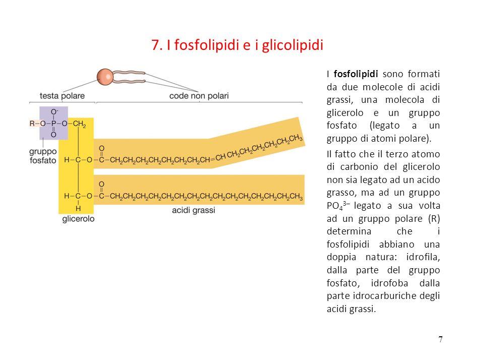 7 7. I fosfolipidi e i glicolipidi I fosfolipidi sono formati da due molecole di acidi grassi, una molecola di glicerolo e un gruppo fosfato (legato a