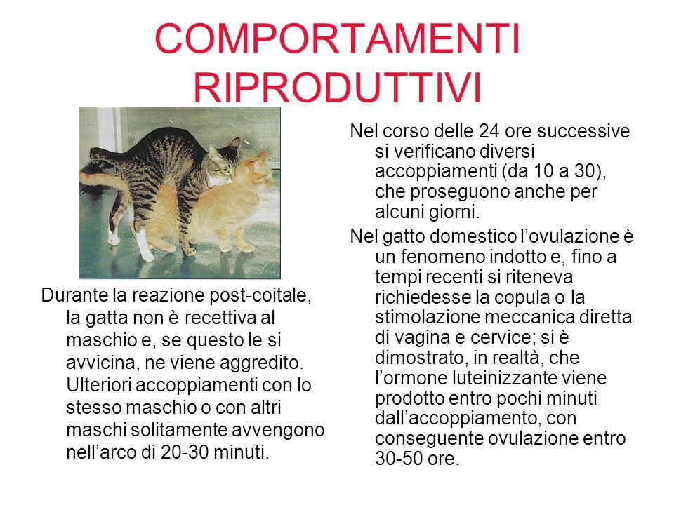COMPORTAMENTI RIPRODUTTIVI Durante la reazione post-coitale, la gatta non è recettiva al maschio e, se questo le si avvicina, ne viene aggredito. Ulte