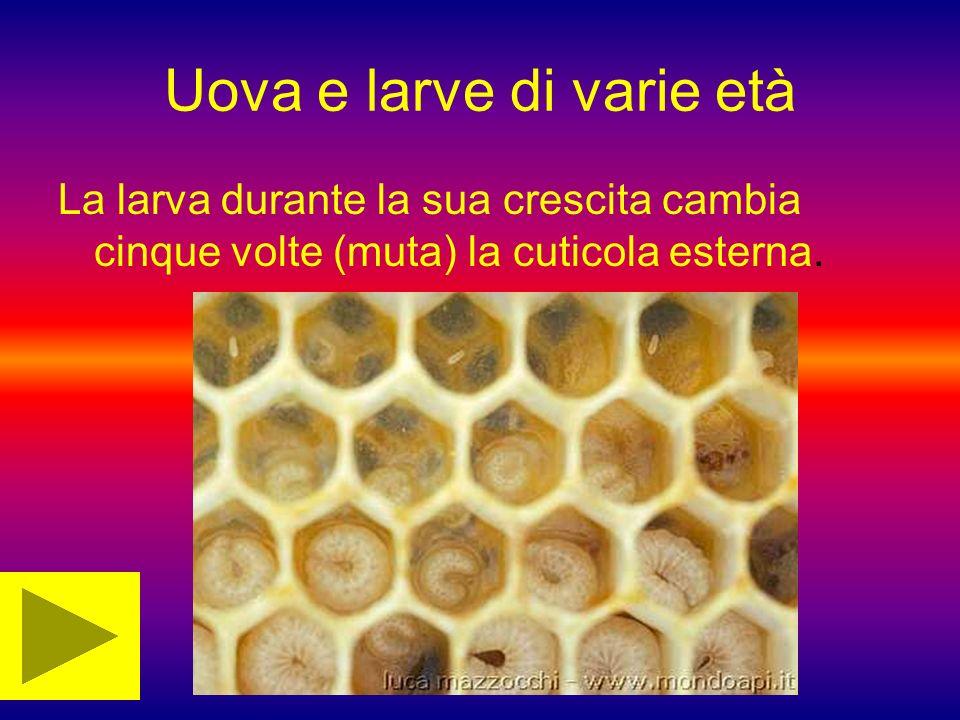 Uova e larve di varie età La larva durante la sua crescita cambia cinque volte (muta) la cuticola esterna.