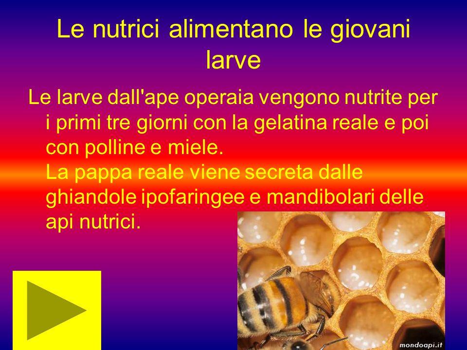 Le nutrici alimentano le giovani larve Le larve dall'ape operaia vengono nutrite per i primi tre giorni con la gelatina reale e poi con polline e miel