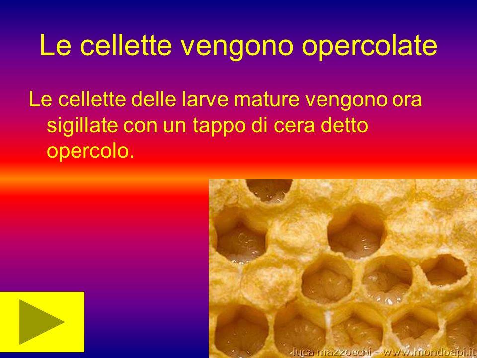 Le cellette vengono opercolate Le cellette delle larve mature vengono ora sigillate con un tappo di cera detto opercolo.
