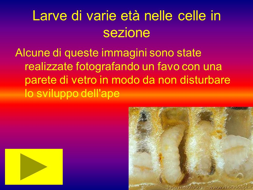 Larve di varie età nelle celle in sezione Alcune di queste immagini sono state realizzate fotografando un favo con una parete di vetro in modo da non disturbare lo sviluppo dell ape