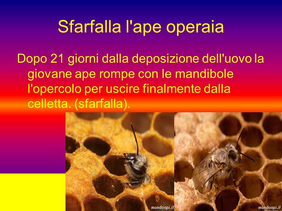 Sfarfalla l ape operaia Dopo 21 giorni dalla deposizione dell uovo la giovane ape rompe con le mandibole l opercolo per uscire finalmente dalla celletta.