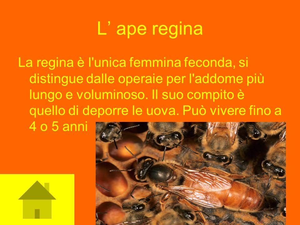 L ape regina La regina è l'unica femmina feconda, si distingue dalle operaie per l'addome più lungo e voluminoso. Il suo compito è quello di deporre l