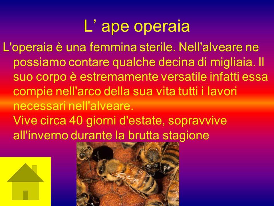 L ape operaia L'operaia è una femmina sterile. Nell'alveare ne possiamo contare qualche decina di migliaia. Il suo corpo è estremamente versatile infa