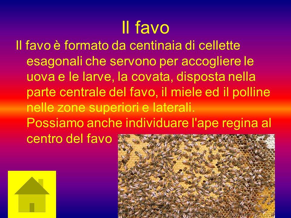 Il favo Il favo è formato da centinaia di cellette esagonali che servono per accogliere le uova e le larve, la covata, disposta nella parte centrale d