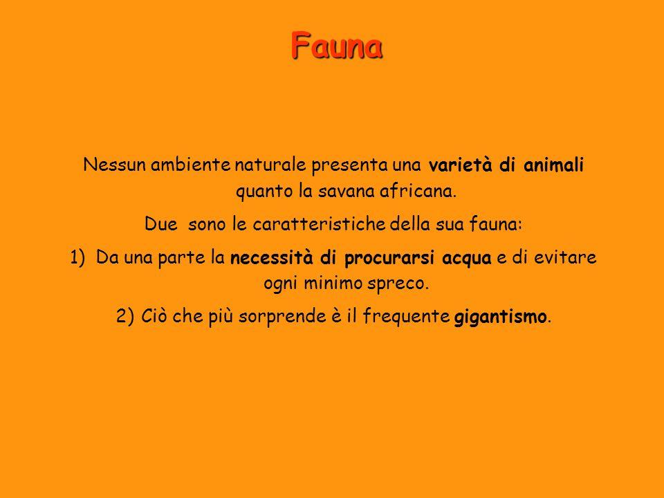 Fauna Nessun ambiente naturale presenta una varietà di animali quanto la savana africana. Due sono le caratteristiche della sua fauna: 1)Da una parte