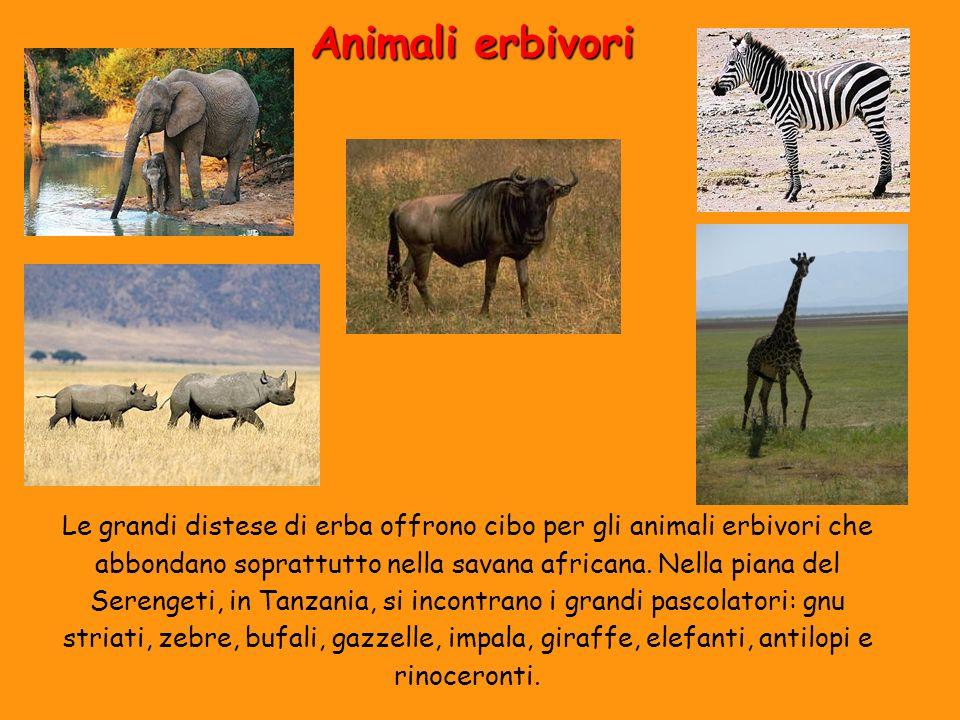 Animali erbivori Le grandi distese di erba offrono cibo per gli animali erbivori che abbondano soprattutto nella savana africana. Nella piana del Sere