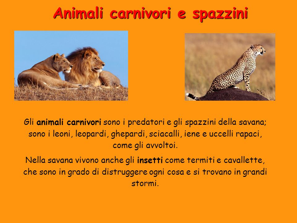Animali carnivori e spazzini Gli animali carnivori sono i predatori e gli spazzini della savana; sono i leoni, leopardi, ghepardi, sciacalli, iene e u