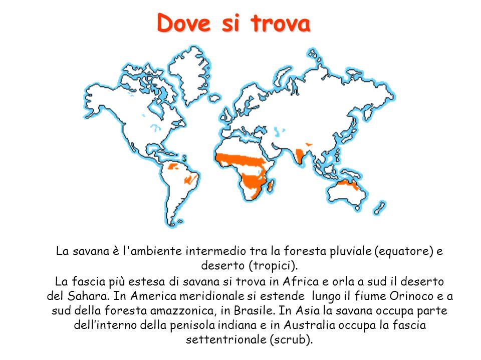 Dove si trova La savana è l'ambiente intermedio tra la foresta pluviale (equatore) e deserto (tropici). La fascia più estesa di savana si trova in Afr