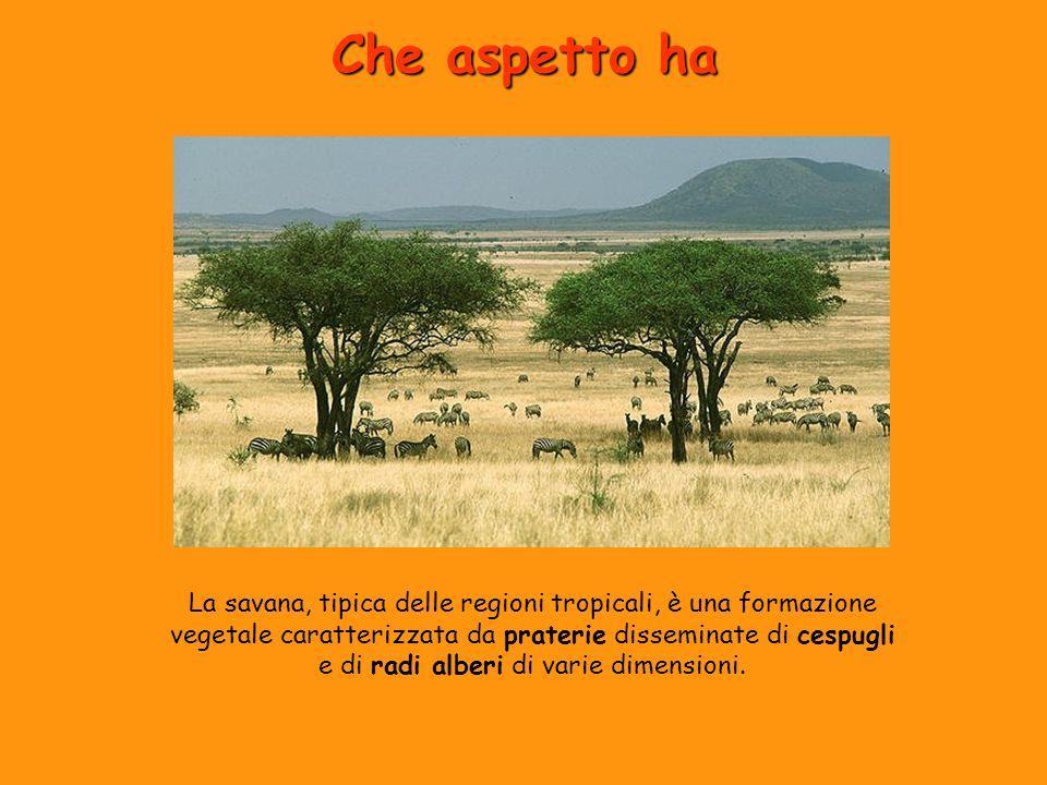 Che aspetto ha La savana, tipica delle regioni tropicali, è una formazione vegetale caratterizzata da praterie disseminate di cespugli e di radi alber