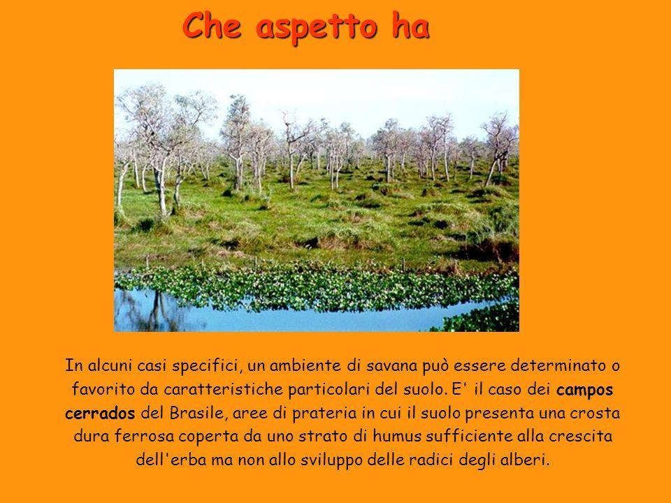 Che aspetto ha In alcuni casi specifici, un ambiente di savana può essere determinato o favorito da caratteristiche particolari del suolo. E' il caso