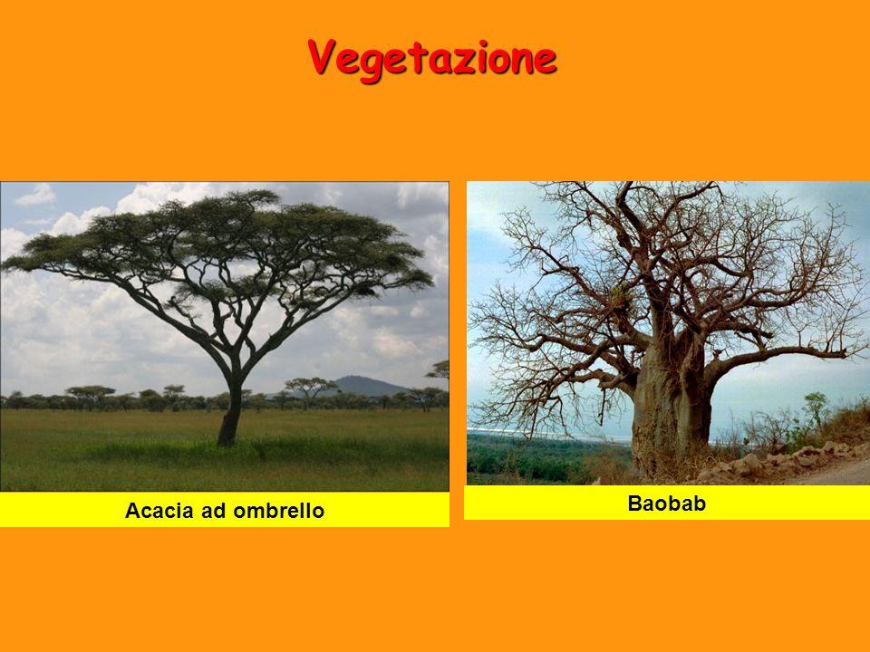 Vegetazione Acacia ad ombrello Baobab