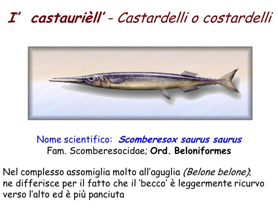 I castaurièll - Castardelli o costardelli Nome scientifico: Scomberesox saurus saurus Fam.