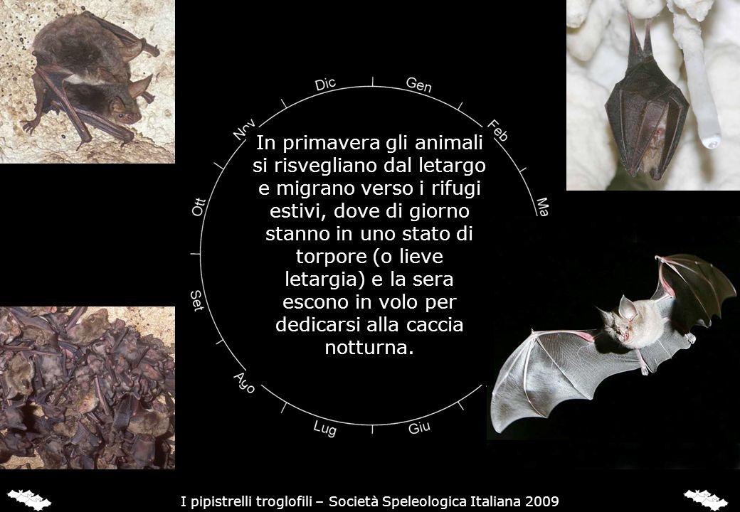 In primavera gli animali si risvegliano dal letargo e migrano verso i rifugi estivi, dove di giorno stanno in uno stato di torpore (o lieve letargia)