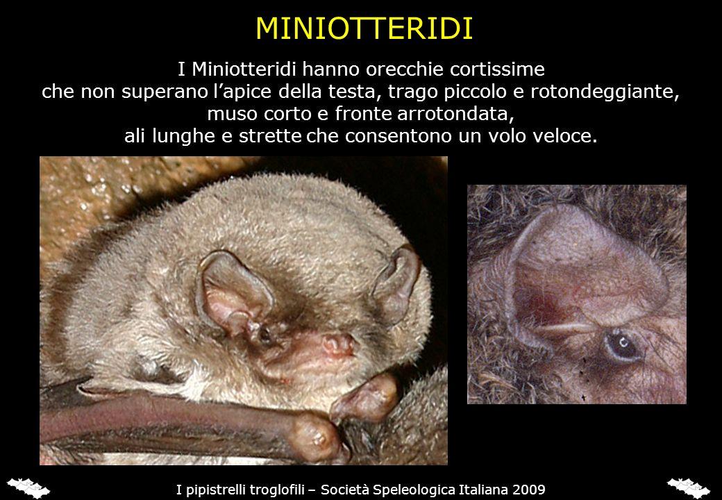 I Miniotteridi hanno orecchie cortissime che non superano lapice della testa, trago piccolo e rotondeggiante, muso corto e fronte arrotondata, ali lun