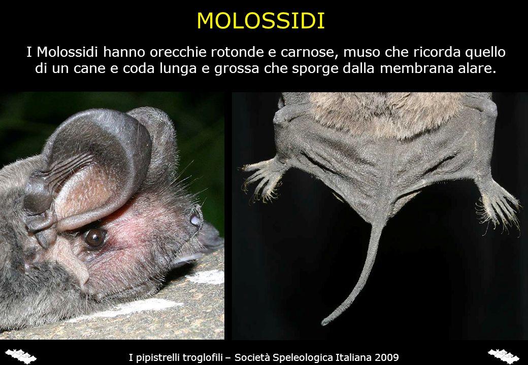 I Molossidi hanno orecchie rotonde e carnose, muso che ricorda quello di un cane e coda lunga e grossa che sporge dalla membrana alare. I pipistrelli